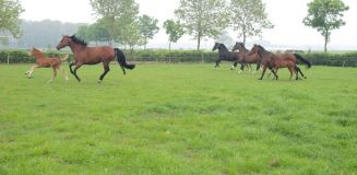 Merries in galop